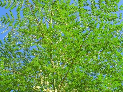 moringa tree2