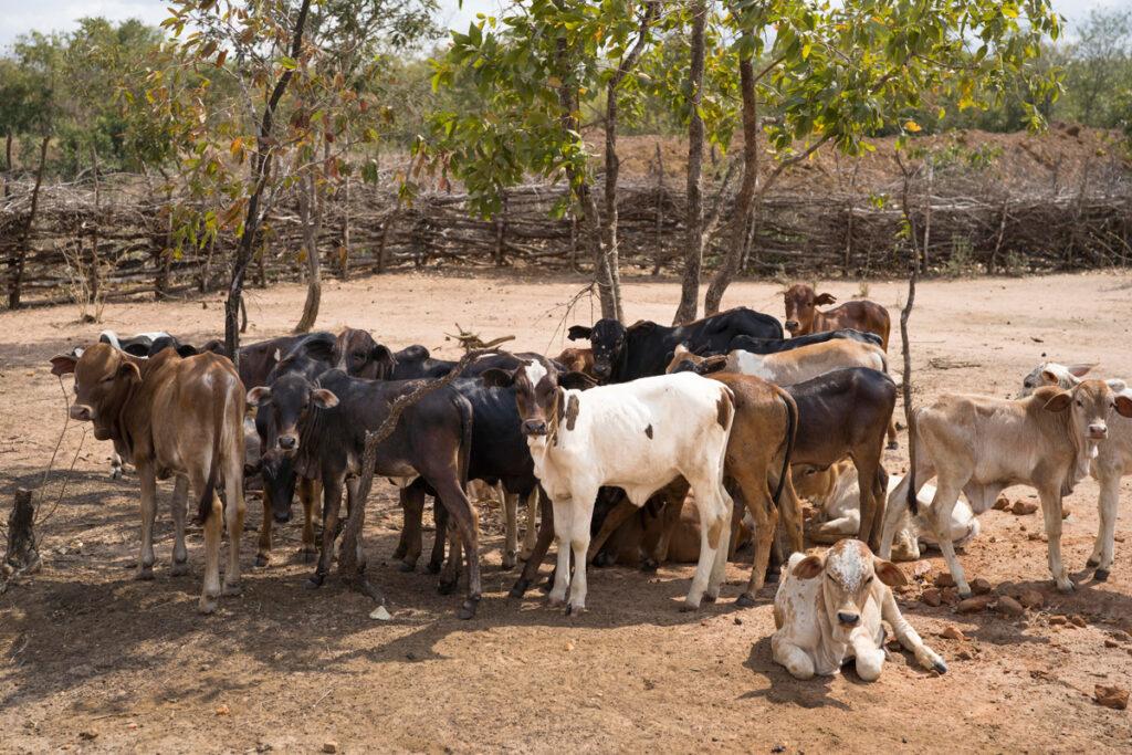 Vieh vor einem durch Dornzweige umzäunten Wasserreservoir