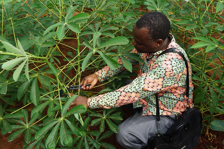 PhD Student misst Cassava